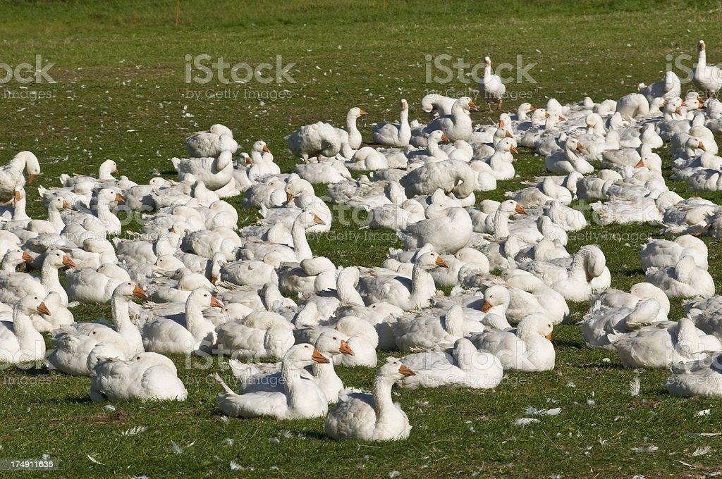 Many gooses at a farm stock photo