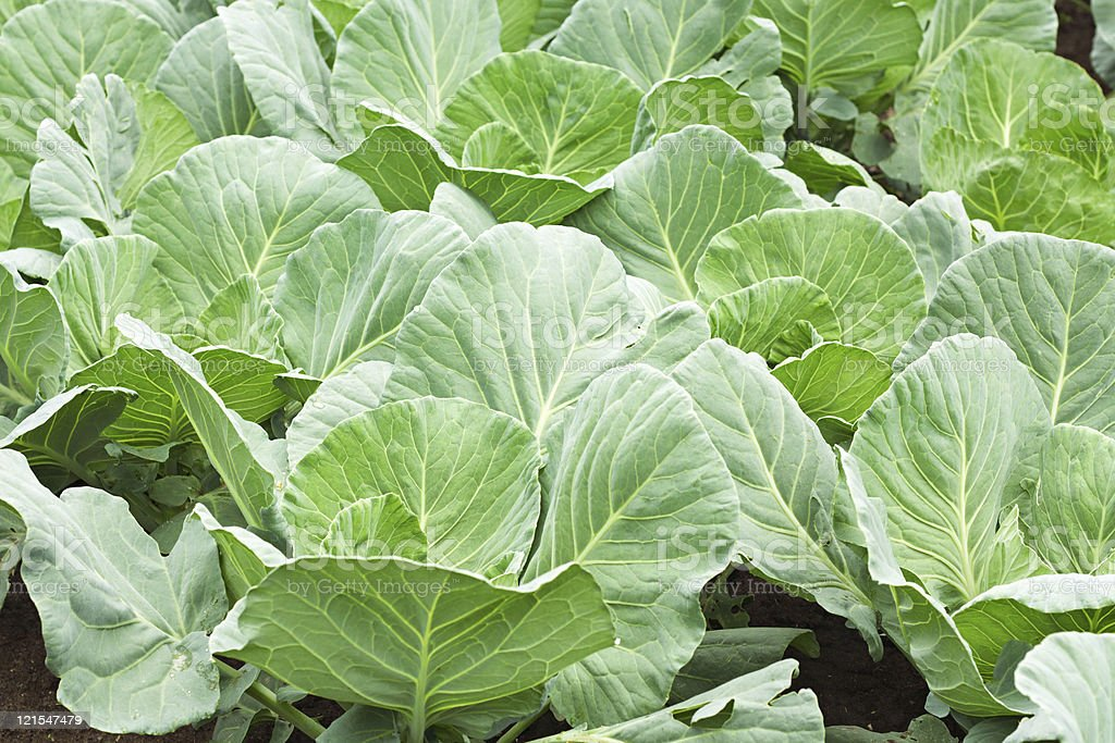 Many green cabbages stock photo
