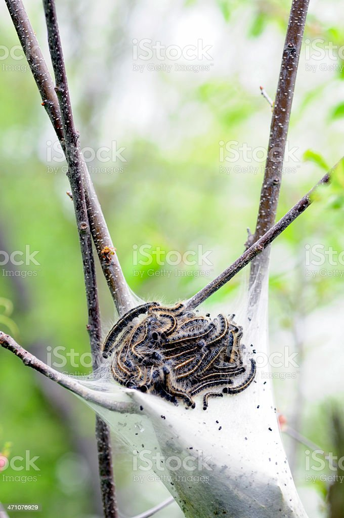 Many Gypsy Moth Caterpillars stock photo