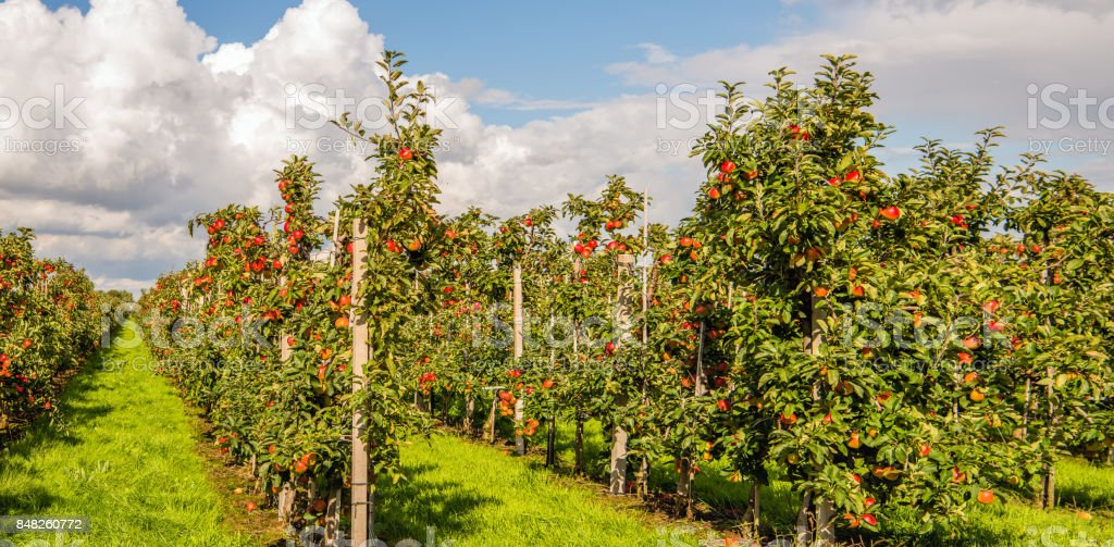 Many harvest ripe Elstar apples in a Dutch orchard stock photo