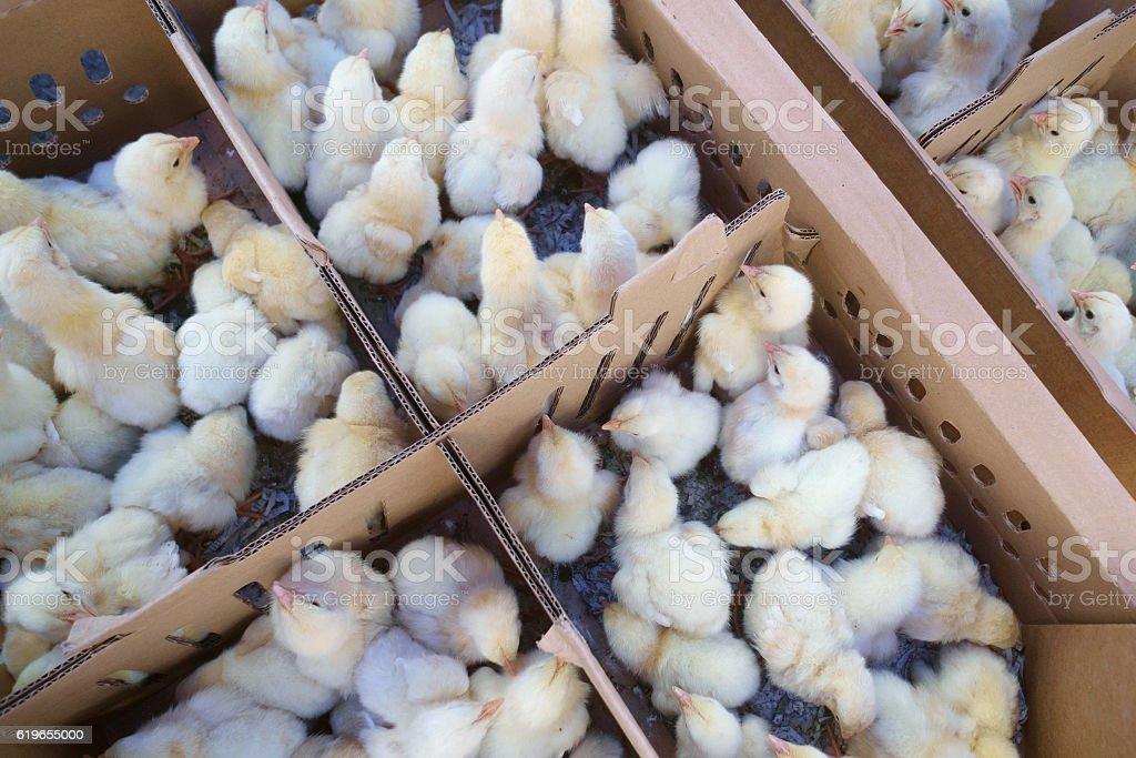 Many hatched chicks stock photo