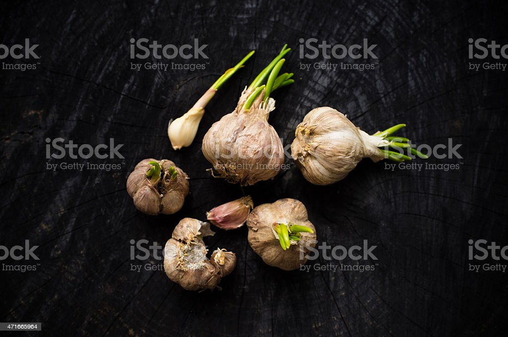Many heads of garlic with green sprouts stock photo