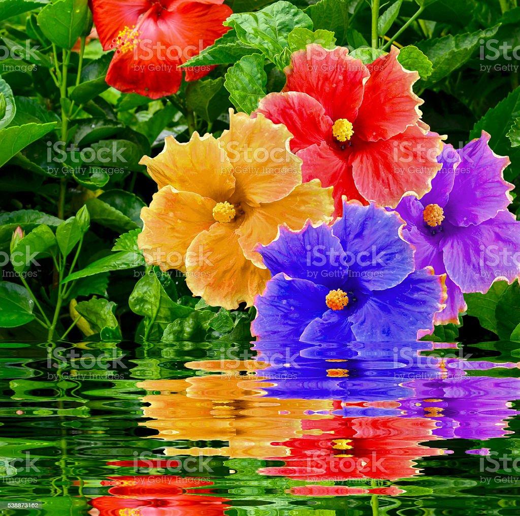 Many hibiscus flower stock photo