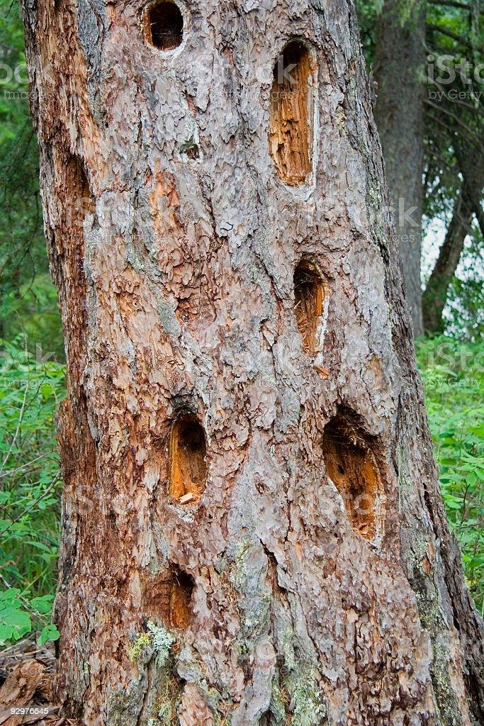 many holes in the bole of a giant tree stock photo