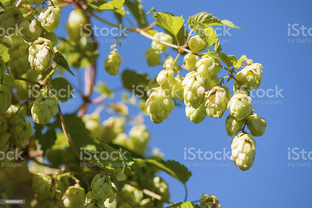 Many hop cones and the leaves of hops. royalty-free stock photo