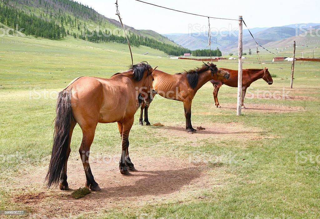 Many horses in Gorkhi-Terelj National Park at Ulaanbaatar , Mongolia stock photo