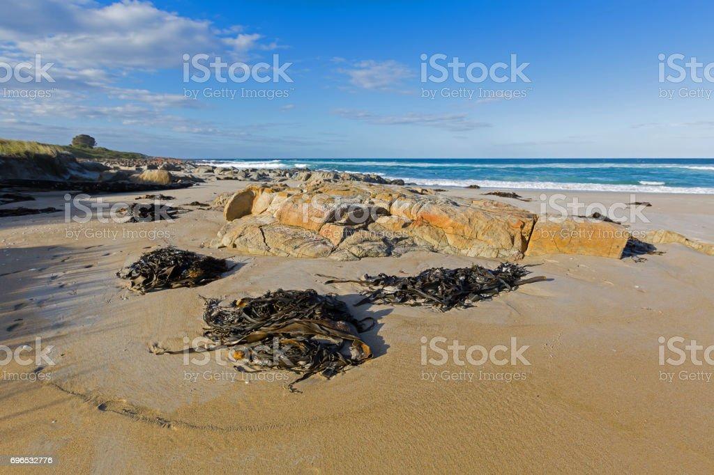 Many huge Bull kelp (Bullwhip kelp) washed ashore in Tasmania, Australia stock photo