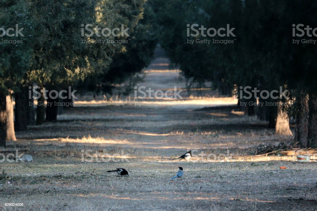 many Magpies in the boulevard of pine in a Chinese park, very quite and peaceful stock photo
