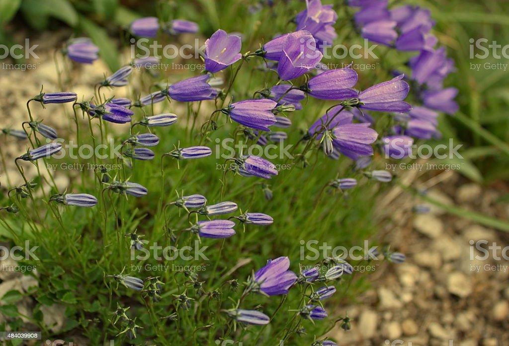 many mountain bellflowers stock photo