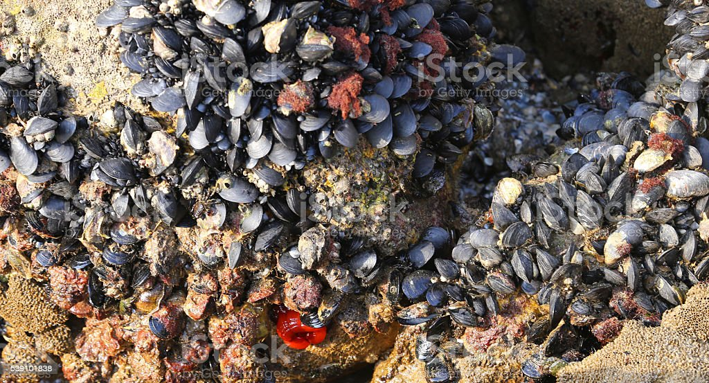 many mussels on the rocks and a red Beadlet anemone stock photo