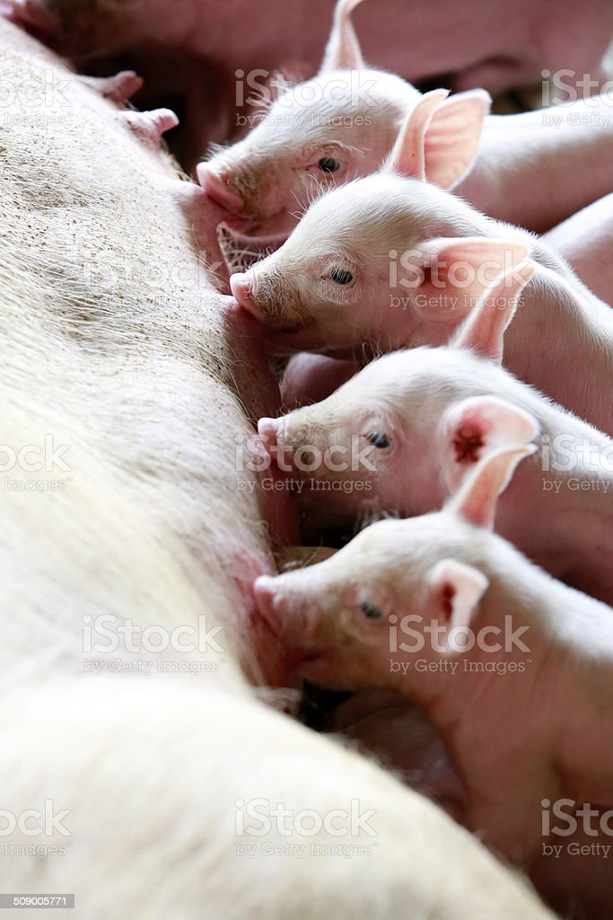 Many of the piglets eating the milk simultaneously stock photo
