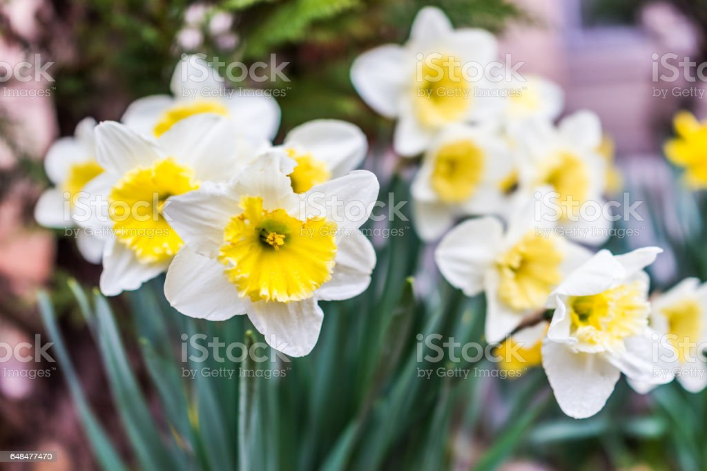 Many open white and yellow daffodil flowers with water drops stock photo