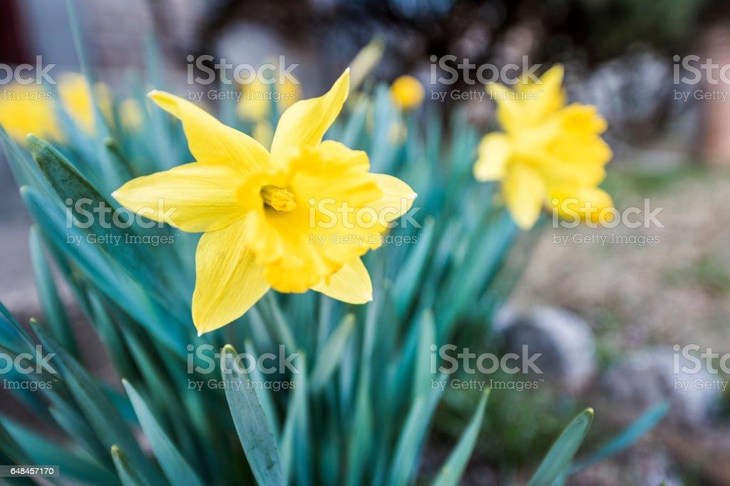 Many open yellow daffodils closeup stock photo