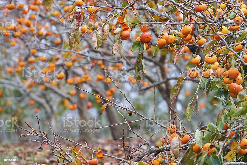Many orange persimmon on a tree in autumn stock photo