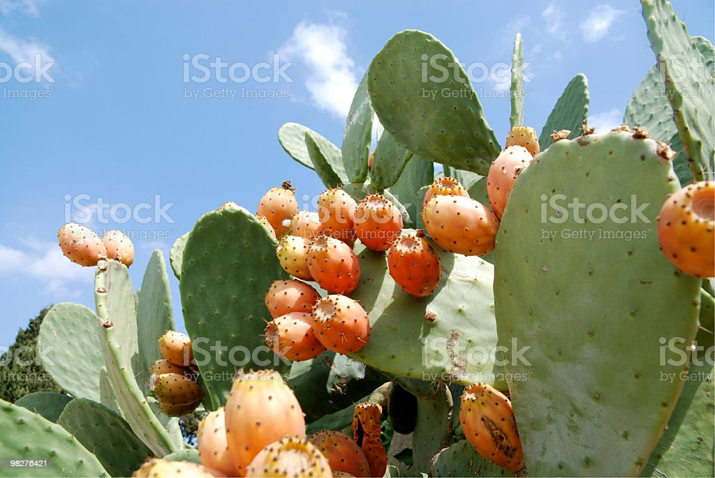 many orange pickly pears on cactus royalty-free stock photo