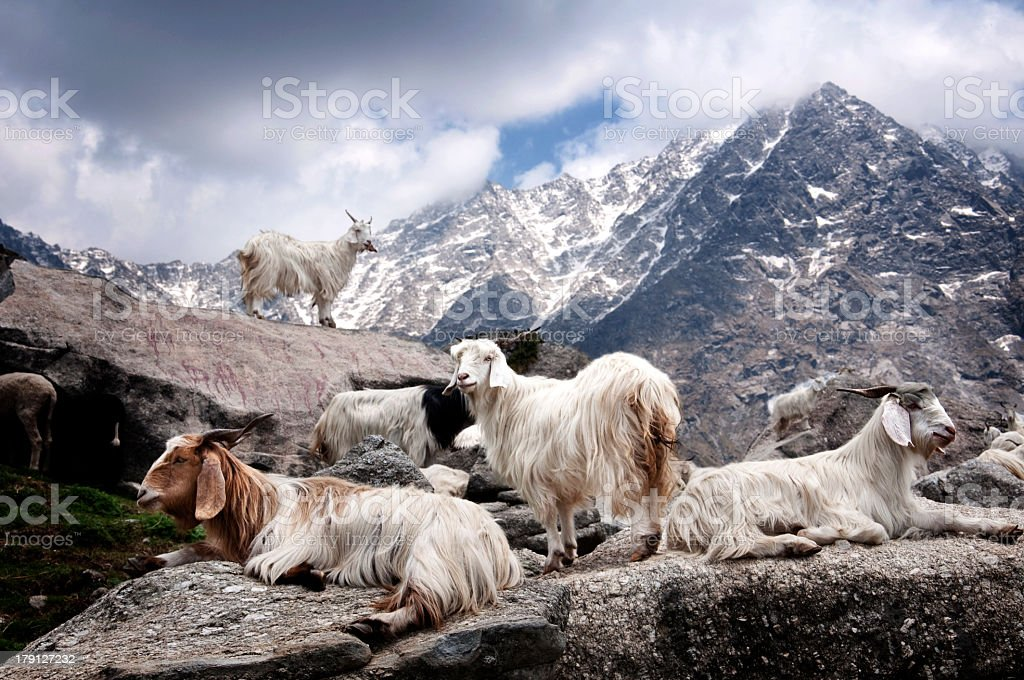 Many pashmina goats on rock mountains under gray cloudy sky stock photo