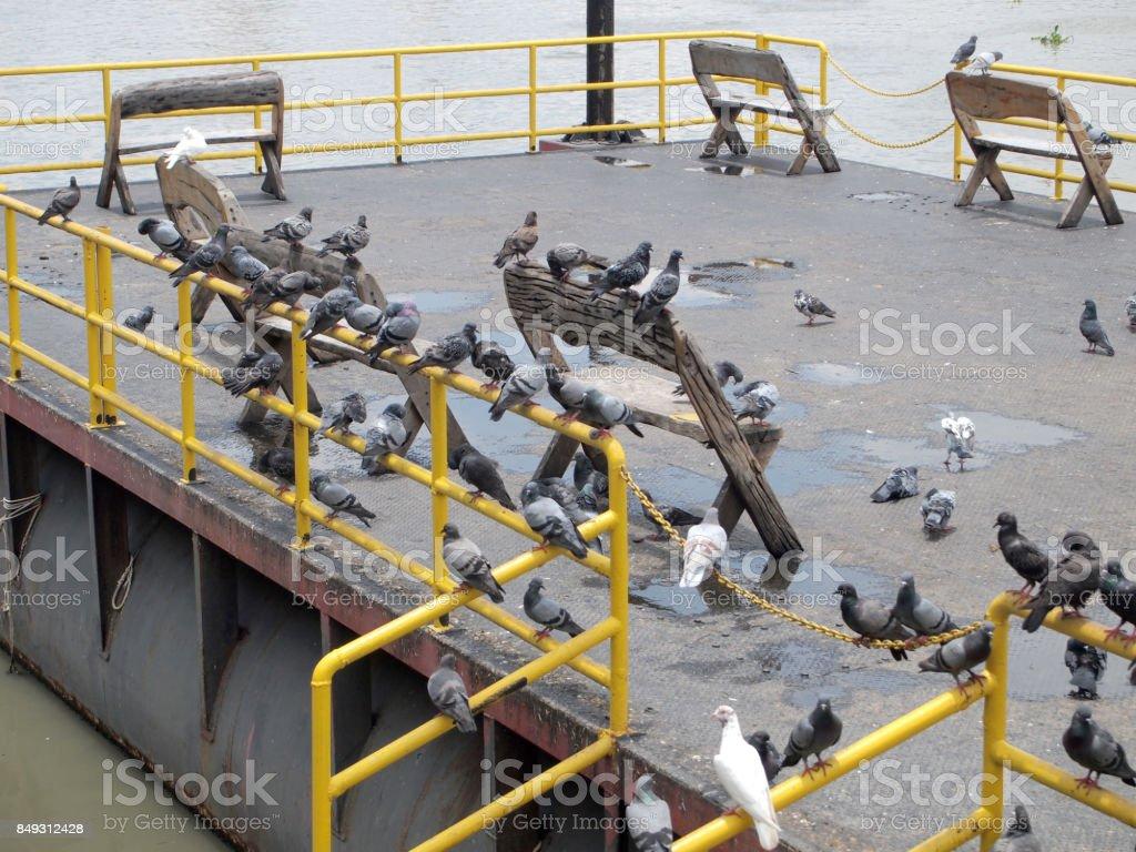 Many pigeon stock photo