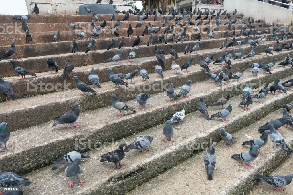 Many pigeons stock photo