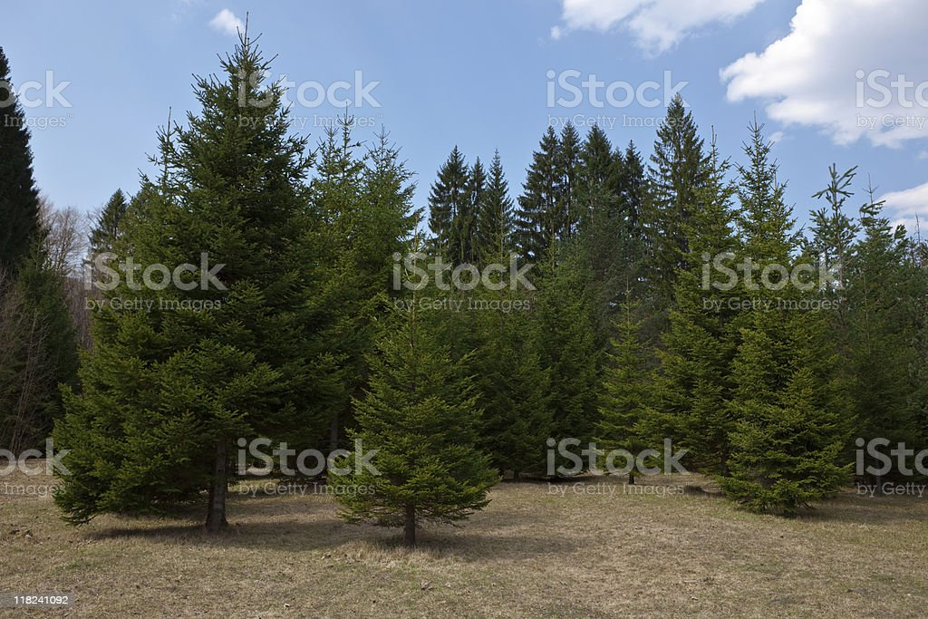 Many pine trees on a clear day royalty-free stock photo