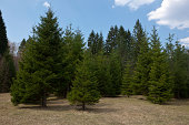 Many pine trees on a clear day