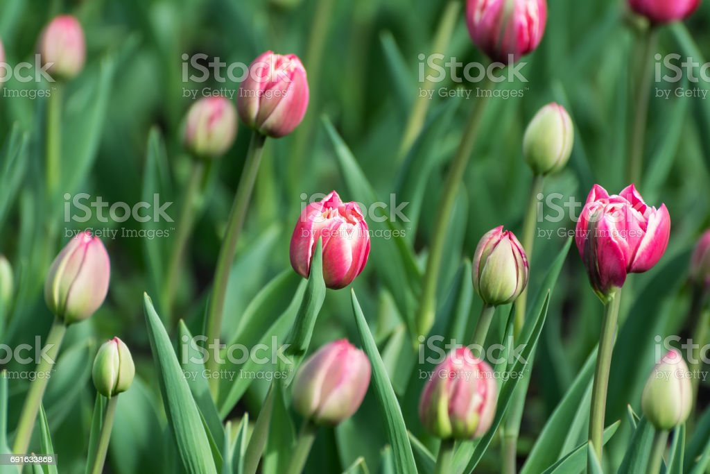 Many pink tulips in the spring garden. stock photo