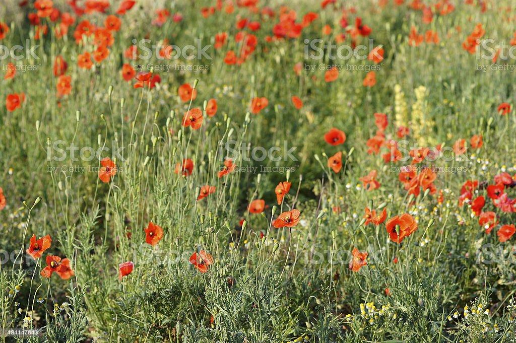 Many poppy flowers royalty-free stock photo