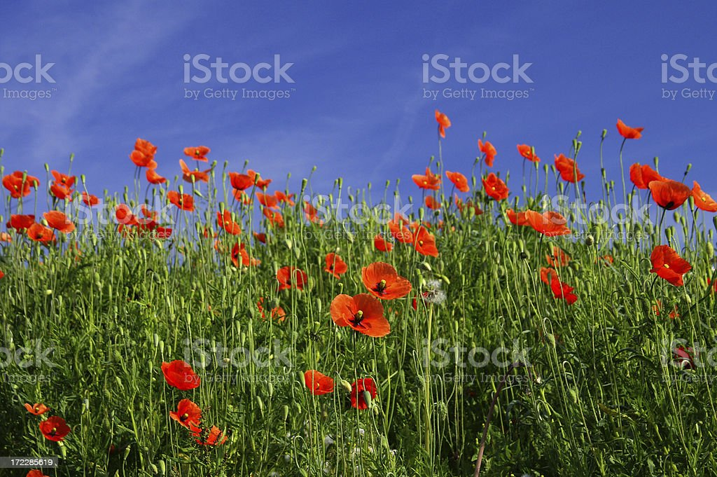 Many Poppy in front off a blue sky royalty-free stock photo