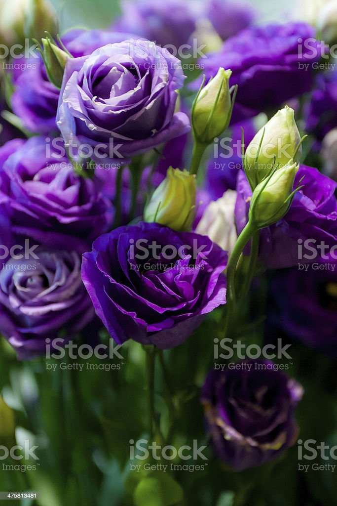 many purple rose stock photo