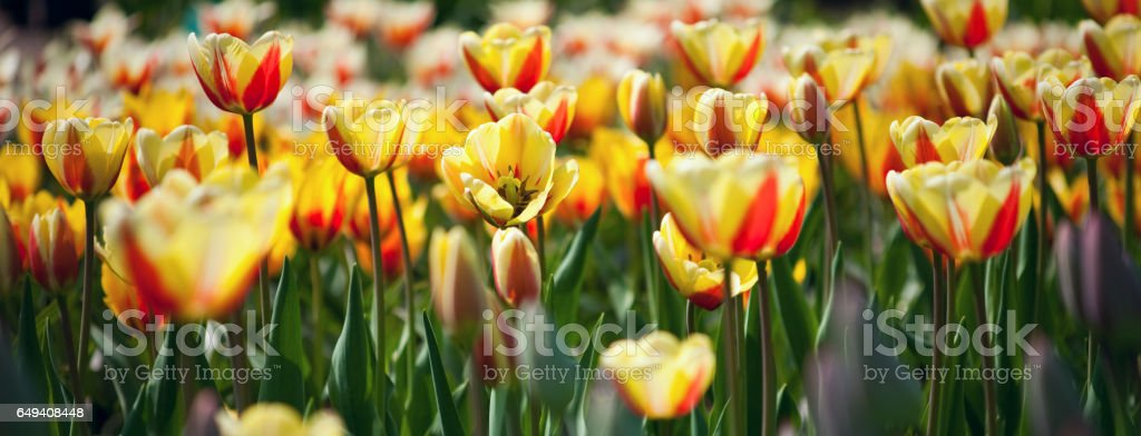 Many red and yellow tulips in the park stock photo