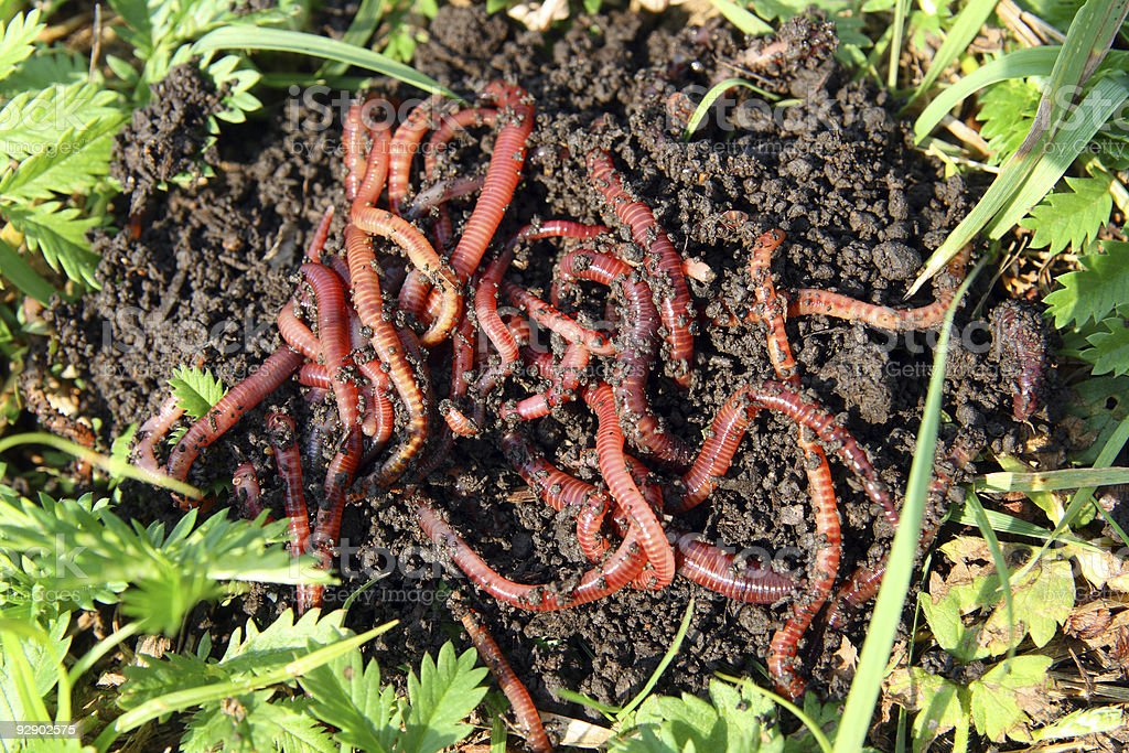 many red worms in dirt stock photo