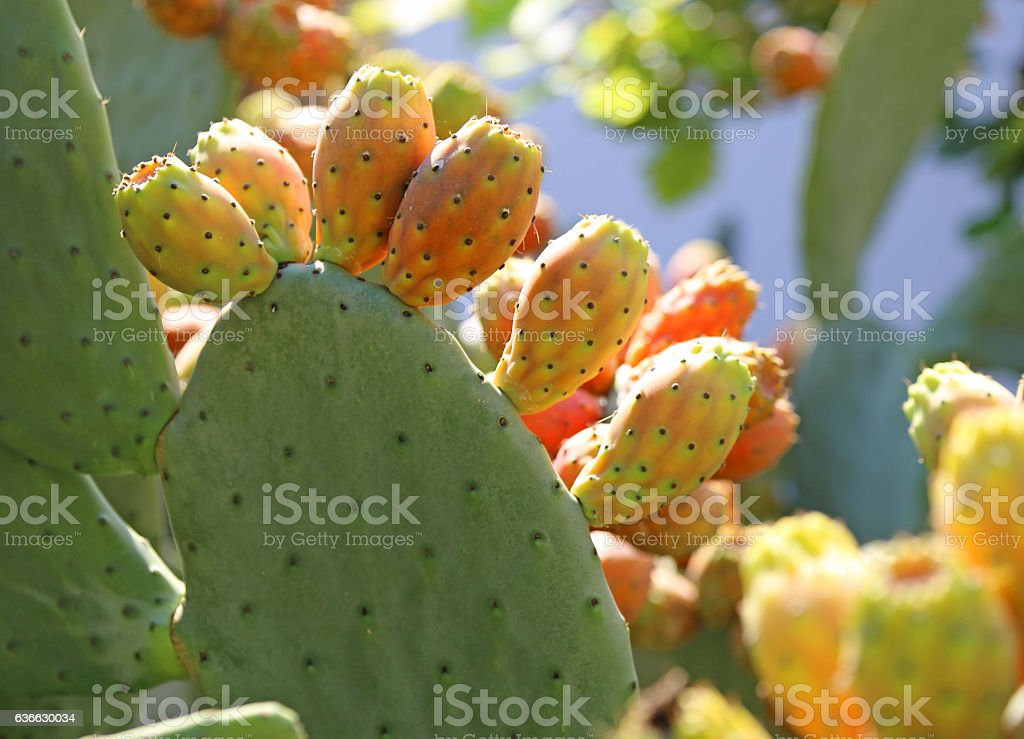 many ripe Indian fig opuntia or Prickly pear stock photo