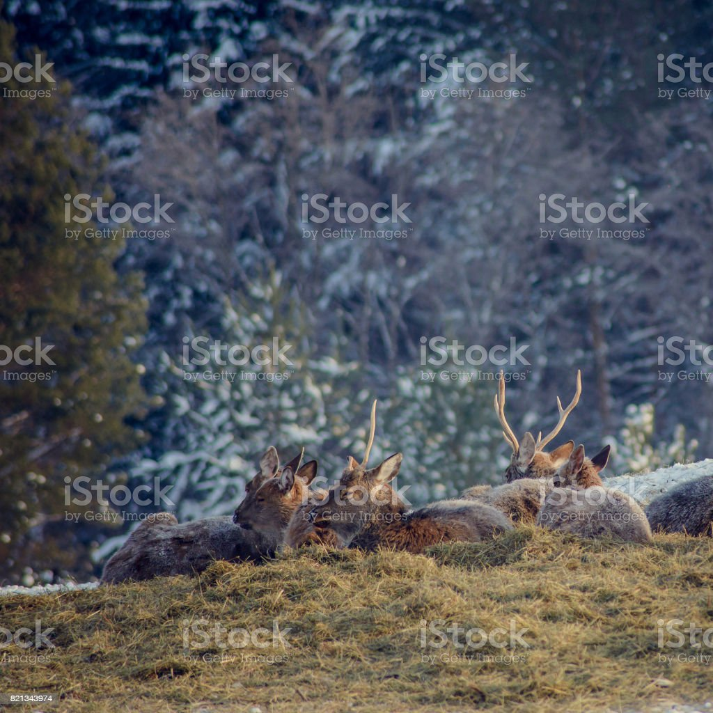 Many Roe deer run over a meadow in winter stock photo