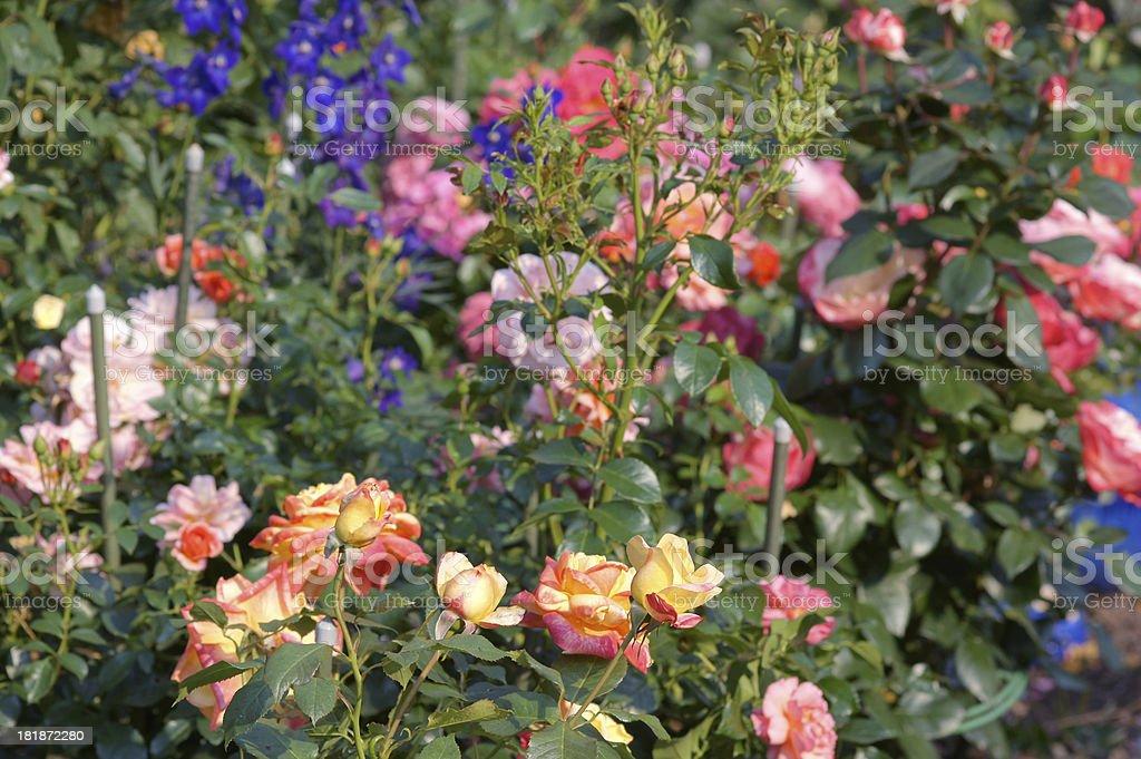 Many roses royalty-free stock photo