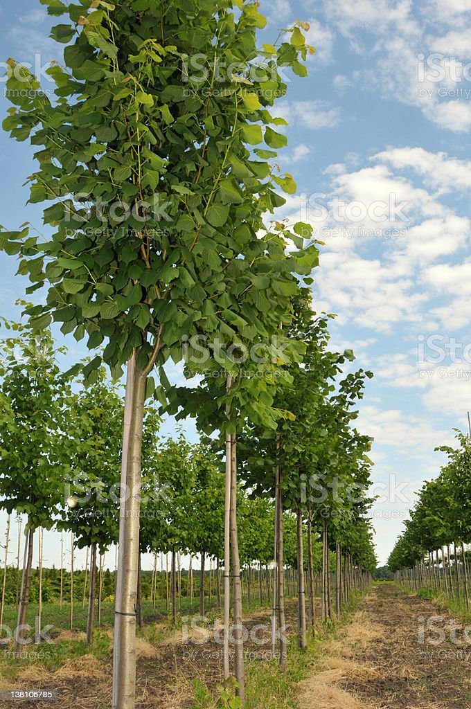 Many rows of linden trees in a large field stock photo