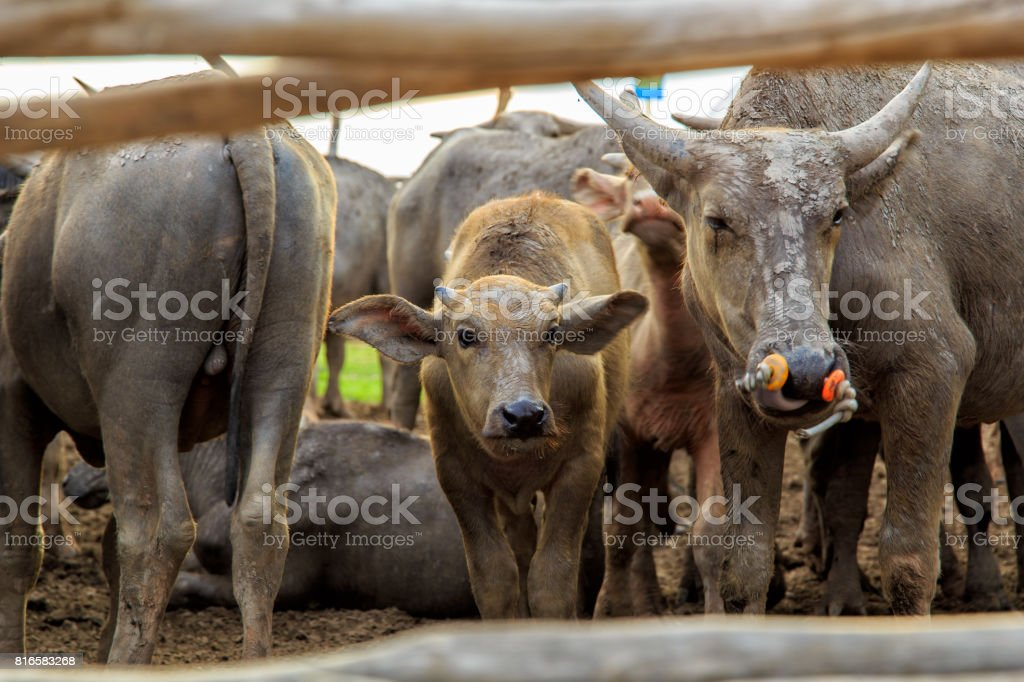 Many Sea Buffaloes residents of enclosure at Talay Noi is a river basin at the topmost of Songkhla Lake. Phatthalung Province, Thailand. stock photo