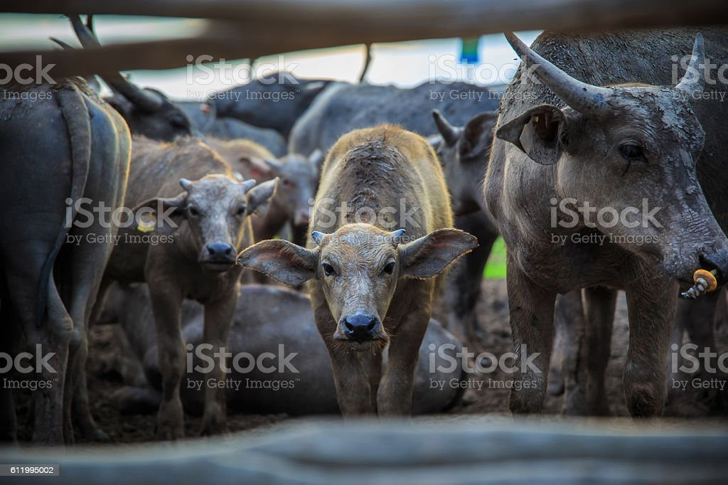 Many Sea Buffaloes residents of enclosure at Talay Noi stock photo