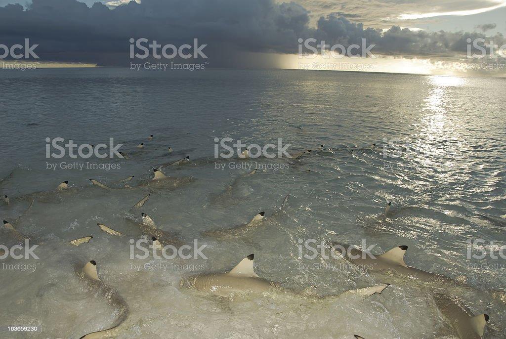 many sharks in shallows stock photo