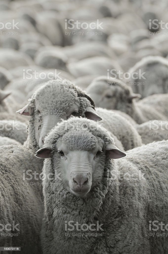 Many sheep crowded together with a close up on one stock photo
