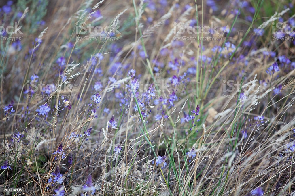 Many small purple wild flowers royalty-free stock photo