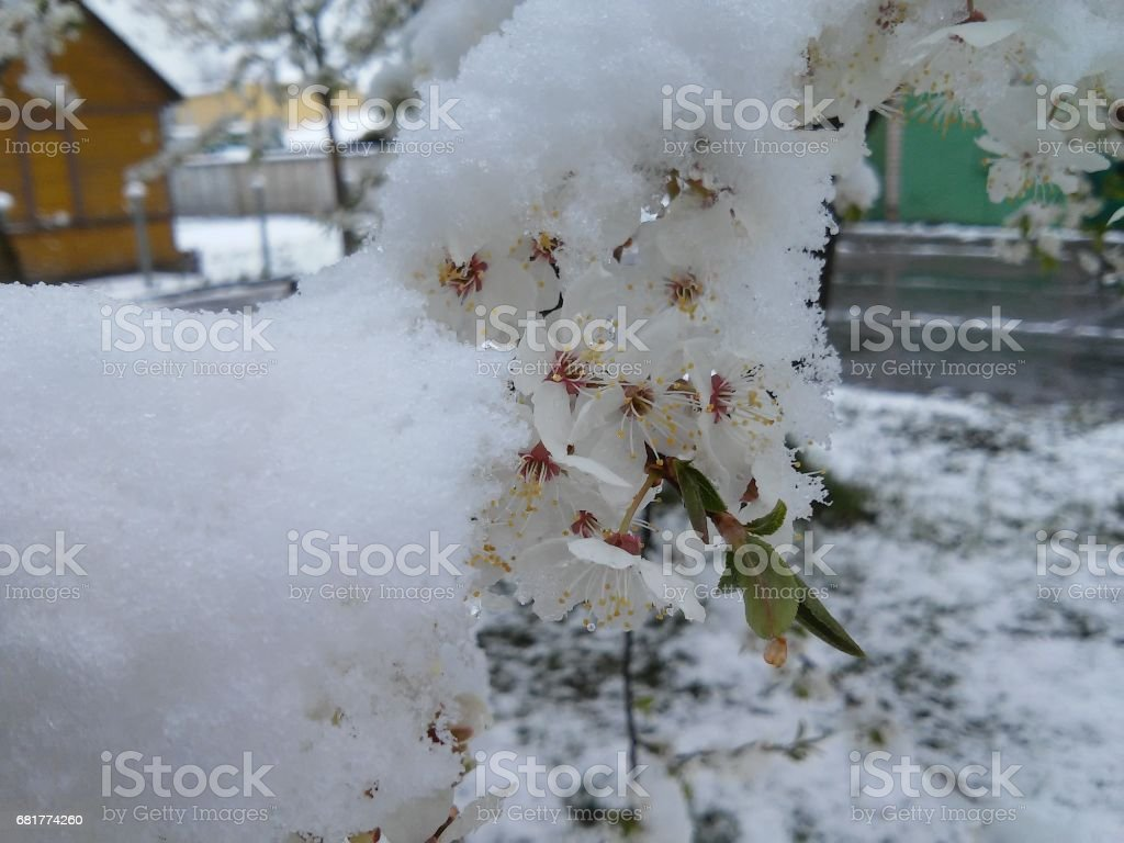 Many snow on the branch with white rings stock photo