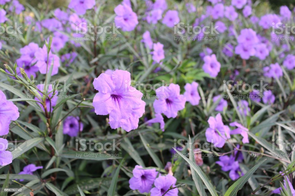 many violet Ruellia tuberosa flowers in garden , colorful flower background , violet flora view, beautiful purple flower frame stock photo