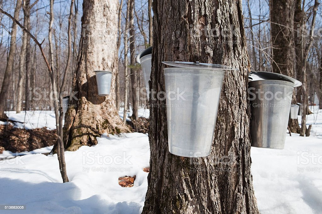 Many Water Buckets Hanging On Maple Trees stock photo