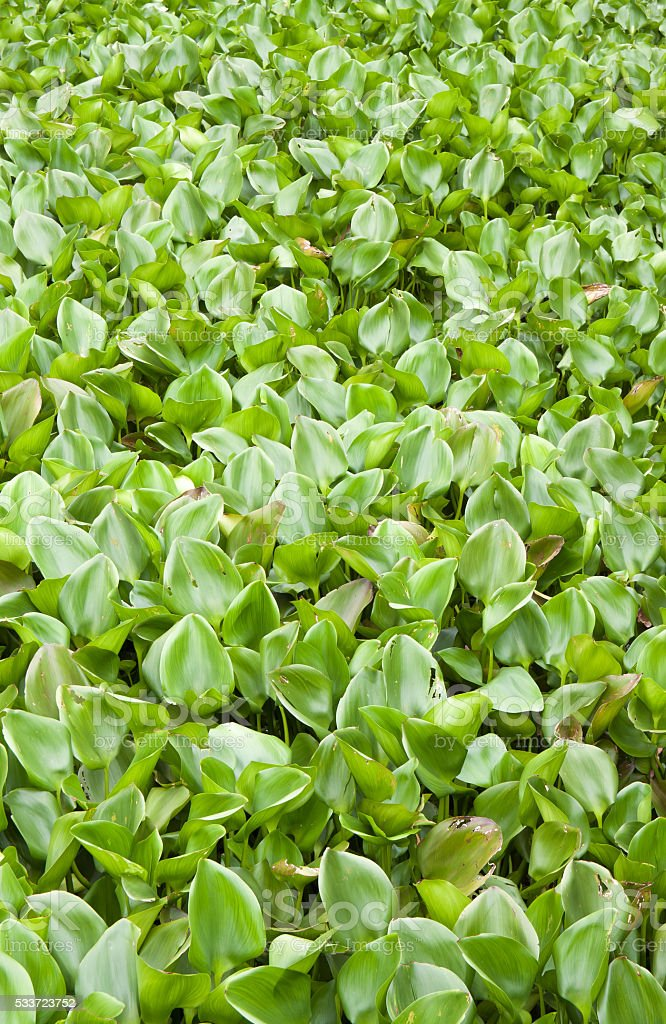 Many water hyacinth in canal royalty-free stock photo