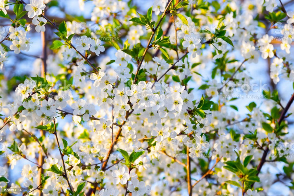 Many white cherry blossoms bloom luxuriantly on the branches on blue sky. stock photo