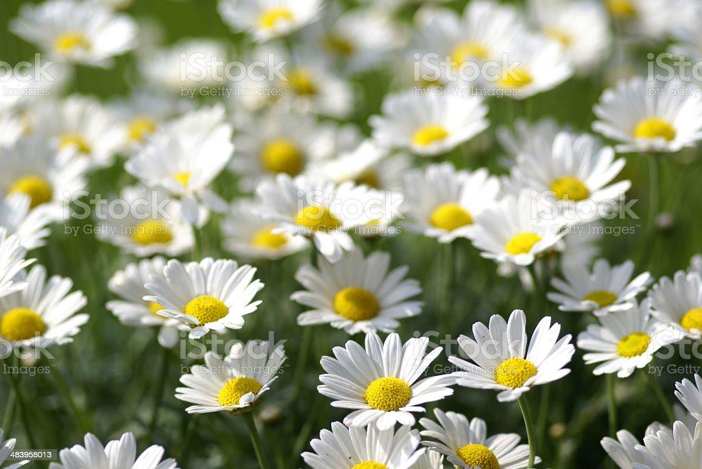 Many white daisies royalty-free stock photo