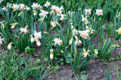 Many white flowers of beautiful daffodils in a flowerbed