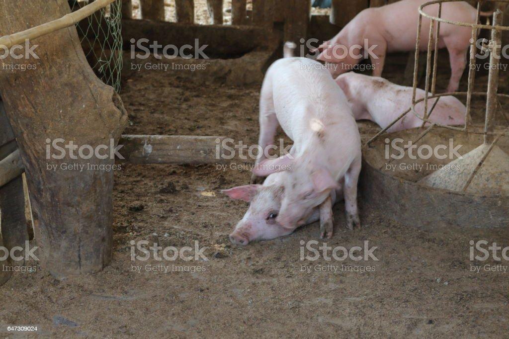 Many white pig on a farm. stock photo