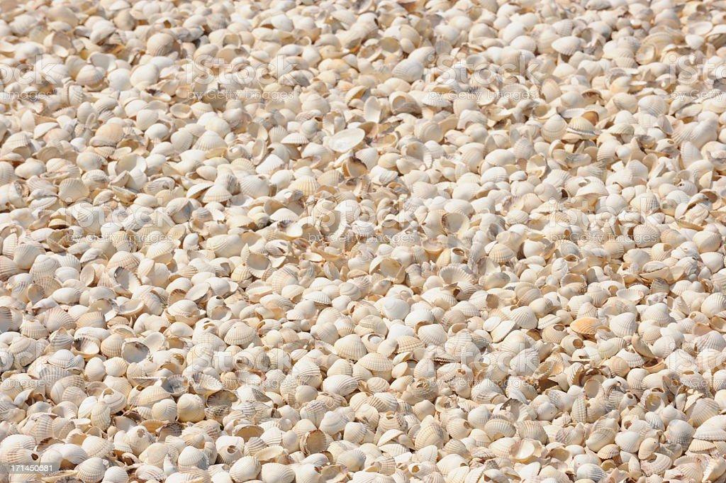 Many white shells stock photo