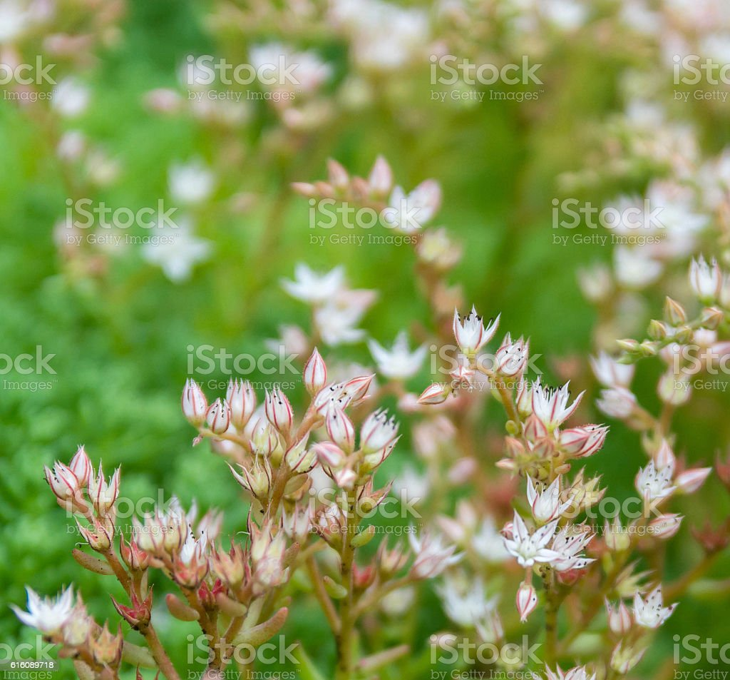 Many white small flowers in top view of meadow stock photo