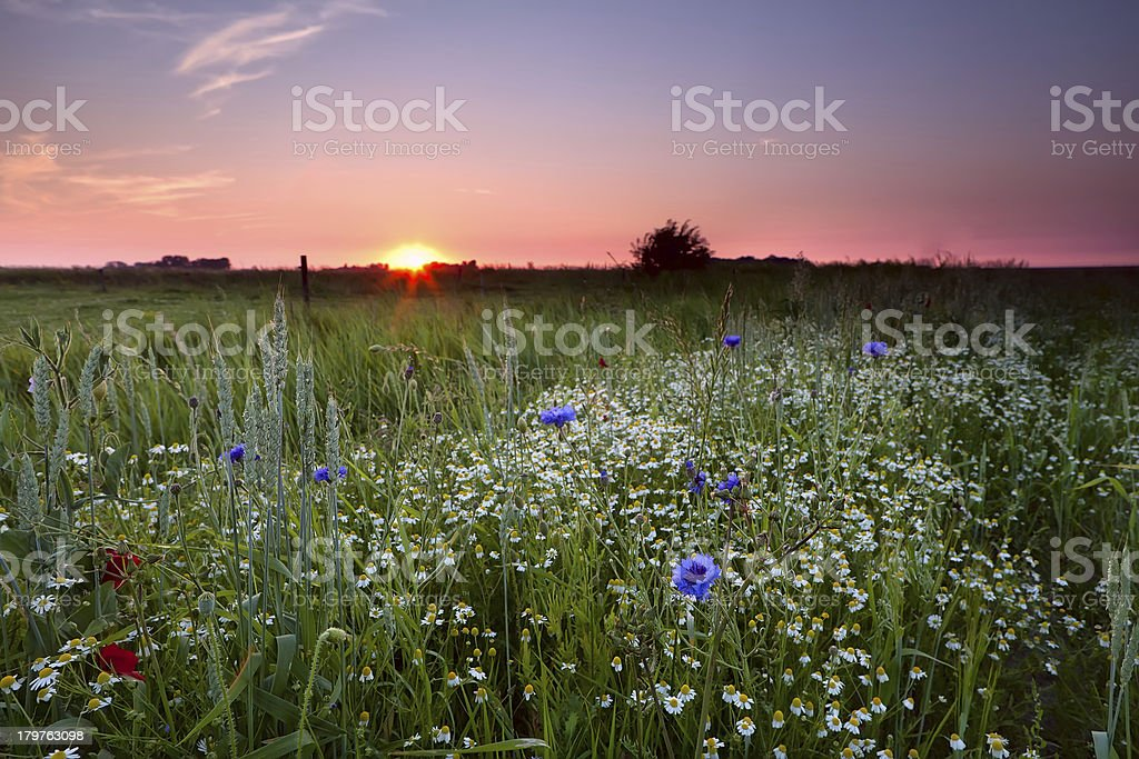 many wildflowers on field at sunset royalty-free stock photo